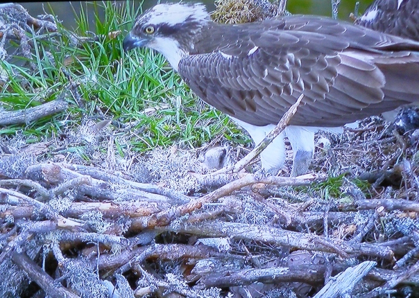 296 Osprey Cam Boat of Garten reserve 19 May 2016